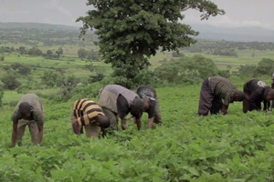 THE DEVELOPMENT OF THE SOYA BEAN VALUE CHAIN HARBU MICROFINANCE (ETHIOPIA)