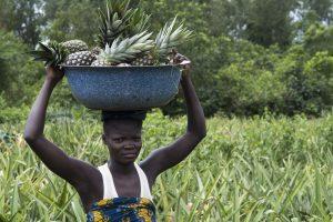 Ananas du Bénin : ça porte ses fruits !